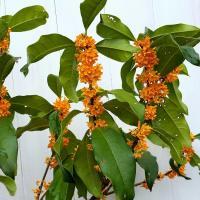 キンモクセイ 3.5号 苗木  金木犀 秋の香りの木 オレンジ花 常緑樹 庭木 0831