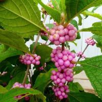 桃式部 ピンクパール 5号ポット 紫式部のピンク実種 低木 山野草 鉢植え 0916