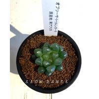 [商品サイズ] 2.5号(鉢径7.5cm) 硬質鉢   <ツルボラン科(ユリ科) 多年草 多肉植物>...