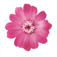 そらプリ プリザーブドフラワー 花材 ジニア 小 グラデーション ピンクローズ 1輪 小分け 大地農園 花 ハンドメイド 手作り 個売り