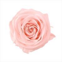 プリザーブドフラワー 花材 プチシャーロット  ブライダル ピンク 小分け 1輪 ローズ 大地農園 バラ
