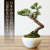 ミニ盆栽 五葉松 盆栽(bonsai ボンサイ)翠松園 撰 キャッシュレス 5%還元*o-M-bonsai_025*