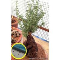 メストクレマ・ツベローサム(Mestoklema tuberosum)の種子