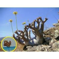 パキポディウム・デンシフローラム(Pachypodium densiflorum)の種子