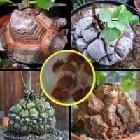 亀甲竜(Dioscorea elephantipes)の種子