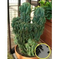 セレウス_ペルビアヌス_モンストローサの種子5粒 Cereus Peruvianus monstro...