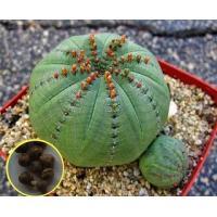 ユーフォルビア オベサの種子5粒。 Euphorbia obesa  数量1は種子5粒。  仕入れ先...