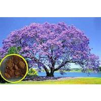 ジャカランダ・ミモシフォリア(キリモドキ)の種子10粒 Blue Jacaranda Mimosif...