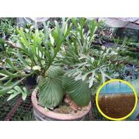 ビカクシダ・リドレイ(Platycerium ridleyi)の胞子(種子)