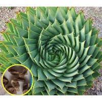 渦巻きアロエ ポリフィラの新鮮な種子5粒が商品です。 Aloe Polyphylla  成長すると渦...