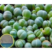 ギバエウム・コンプトニー(鶴翠玉)(Gibbaeum comptonii)の種子