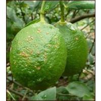 無農薬栽培では作るのが難しいレモン!  キズあり不揃いですが 除草剤すら使わない生産者の執念で 育て...