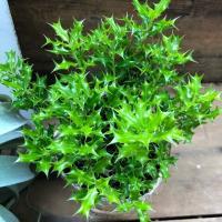 観葉植物 魔除け木に 姫ヒイラギ 玄関に 観葉植物 ガーデニング インテリア