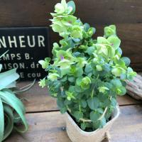 観葉植物 可愛い オレガノ ケントビューティー 観葉植物 インテリア