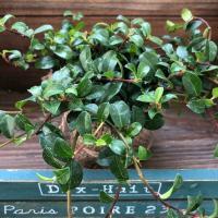 観葉植物 幸運をよぶ 希少 つる性ガジュマル ツルガジュマル 観葉植物
