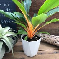 観葉植物 オレンジグロー ネオンカラーの観葉植物 即完売