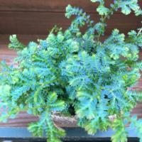 観葉植物 ヒルナンデスでご紹介 レインボーファン 深海 エメラルドグリーン 観葉植物