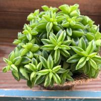 ニパドラ 大人気 ペペロミア 観葉植物 ガーデニング