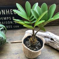 観葉植物 高価 塊根植物 ザミア 観葉植物 インテリア