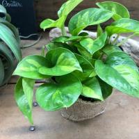 最新品種 グローバルグリーン ポトス 観葉植物