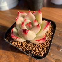 当店農園直売 多肉植物 エケベリア属 Honey pink(美苗) 超人気 抜き苗 多肉専門VERVE