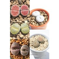 リトープスセット5種 多肉植物のセット ジュエリーストーン メセン通販