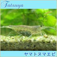 日本海側は島根県以西、太平洋側は千葉県以西の渓流域に分布する 大型のヌマエビの仲間です。透明感のある...