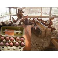 土佐ジロー卵 自然卵 有精卵 30個入り