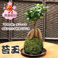こけ玉 世界でも人気の「KOKEDAMA」日本の伝統インテリアグリーン。生きた苔でかわいく丸く仕立て...