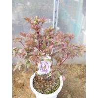 この商品は小サイズ送料です。 特徴 花の色は薄い紫色の大輪咲きです。 花の王と称されるほどの華やかさ...