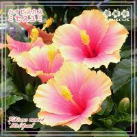 一重咲きハイビスカス『ミセスユミ』4.5~5号鉢 開花鉢  レア品種  ピンク~黄 美しいグラデーション  本州のみ送料込み