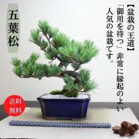 小品盆栽 四国五葉松 祝い ギフト gift 誕生日祝 開店祝 御祝 御結婚祝い プレゼントにも