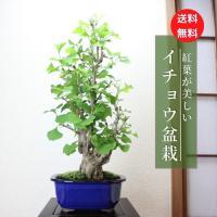イチョウ盆栽 銀杏
