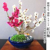 盆栽 梅 紅白梅 盆栽 室内 初心者 おしゃれ盆栽 癒し 植物 フラワーギフト 誕生日 ギフト
