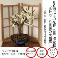 盆栽 梅 一級品 玉牡丹 白梅 80個以上の蕾 白梅 盆栽 ミニ 室内 初心者 おしゃれ 植物 ミニ観葉