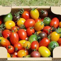 お中元 御中元 贈答  数種類のミニトマトを彩り良くボリューム満点に箱詰めしました! トマトひとつひ...