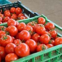 お中元 御中元 贈答  ワンダーファームの中玉トマト、品種はカンパリトマトです! たっぷり3kgでお...