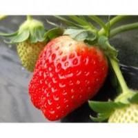 この美味しさをぜひ 私たち青果のプロが「日本一」と形容するいちご職人「菅谷利男さん」 彼の苺は、通常...