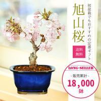 桜盆栽:一才桜(瀬戸焼緑長方...