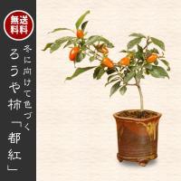 小品盆栽:柿・都紅(信楽焼鉢)*秋実物風情ロウヤカキかきろうや柿老爺柿