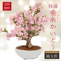 盆栽:特選極太すいしかいどう桜(緑丸鉢)*(2020年 春 開花予定)