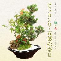 盆栽:ピラカンサ・五葉松寄せ*寄せ鉢植え鉢植え祝い 誕生日祝 開店祝 御祝 プレゼントにも