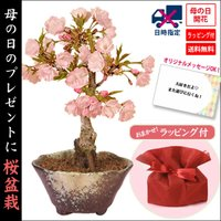 (ご予約受付中) 母の日ギフト 鉢が選べる:桜盆栽 母の日開花桜*ラッピング付です  プレゼントgift 鉢植え鉢花 花 さくら お花見