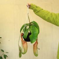"""熱帯地域の植物で、葉っぱの先がまきヒゲ状に伸びてその先がツボ状にふくらんで""""捕虫袋""""と呼ばれる虫を捕..."""