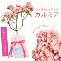 コンペイトウのような蕾の形がとっても可愛いらしく 清楚で美し花が楽しめます。   *数量ものの為、写...