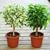 観葉植物:ねじりベンジャミン ベンジャミナ*葉色選べます。
