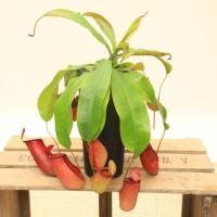 """[商品情報]熱帯地域の植物で、葉っぱの先がまきヒゲ状に伸びてその先がツボ状にふくらんで""""捕虫袋""""と呼..."""