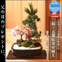 (遅れてごめんね 父の日ギフト)盆栽:桜・五葉松寄せ植え*鉢植え 祝い 誕生日祝 御祝 プレゼントにも 2019年春開花終了