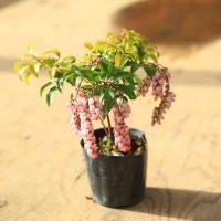 樹種:紅花馬酔木(アセビ)  撮影日:3月  常緑樹。あせびの紅花品種、春にスズランのような愛らしい...