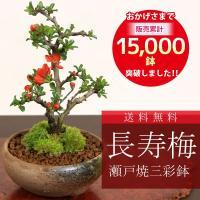 落葉樹。 長寿梅は名前から「長寿」を表すとされ、縁起が良いとされてきました。 この事から、「お誕生日...